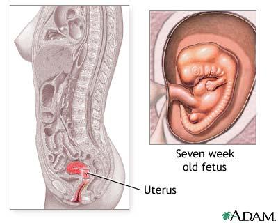 7 week fetus