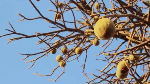Baobab fruit for quality oil