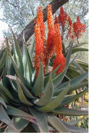 Aloe ferox helps heal tanning burns