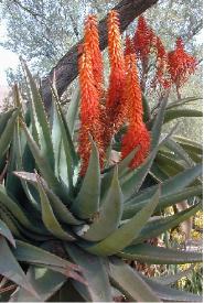 Aloe Ferox for sun burn