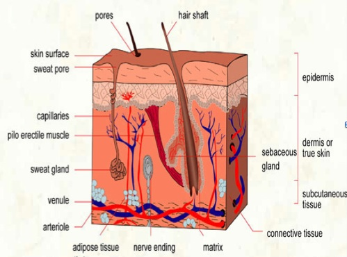 basal-cell-carcinoma diagram: skin layers