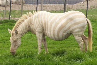 blonde-zebra