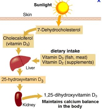 Vitamin D creation process in Body