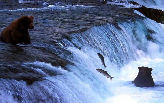 bears salmon fishing