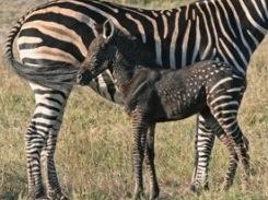 Melanin in zebras